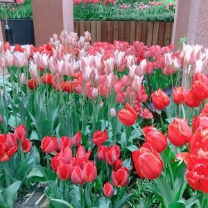 チューリップ四季彩館 季節展示「季節を彩る花々 ~初夏~」