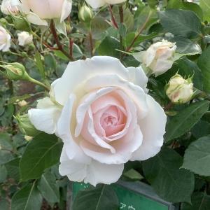 富山県花総合センター エレガガーデンのバラ花壇