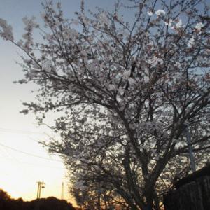 【豊浜漁港】 桜の花が咲くころは