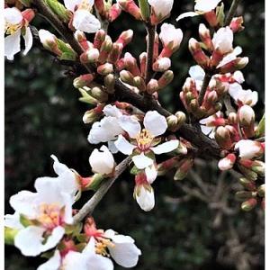 ユスラウメ(花)