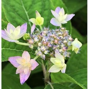 ヤマアジサイ(花)
