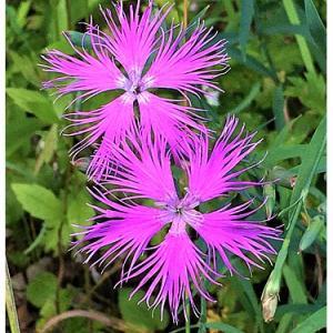 ナデシコ(花)