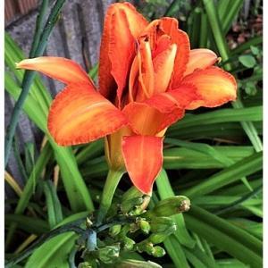 カンゾウ(花)