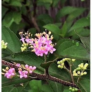 ムラサキシキブ(花)