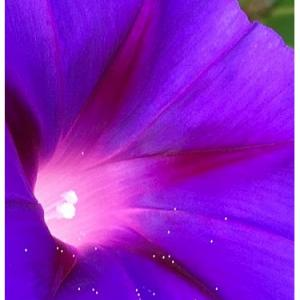 アサガオ(花)