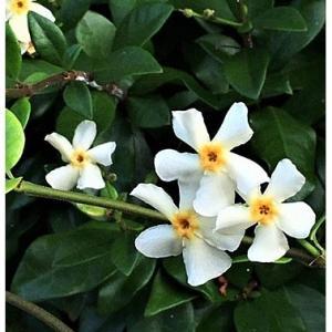 テイカカズラ(花)