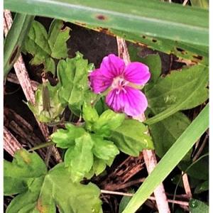 ゲンノショウコ(花)
