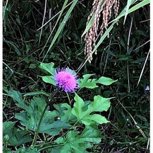 ノハラアザミ(花)