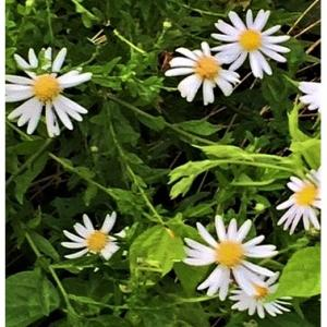 ノギク(花)