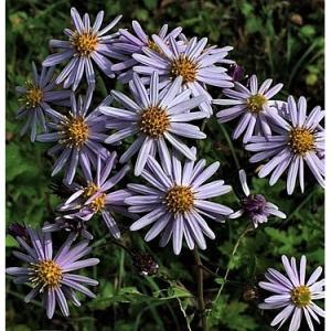 ノコンギク(花)