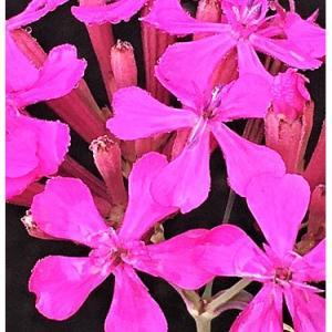 ムシトリナデシコ(花)