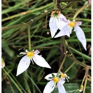ユキノシタ(花)