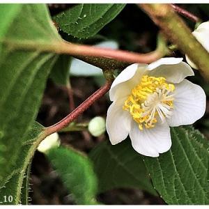 マタタビ(花)