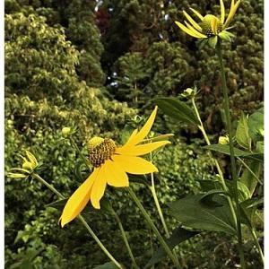 オオハンゴンソウ(花)