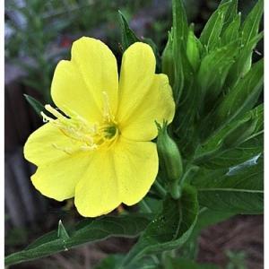 オオマツヨイグサ(花)