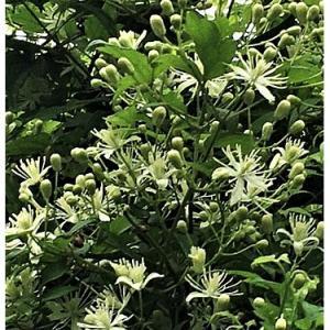ボタンヅル(花)