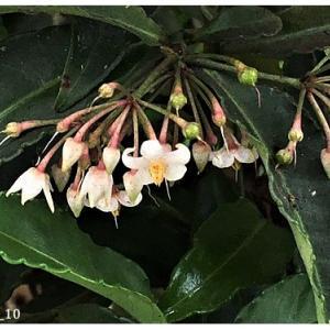 マンリョウ(花)