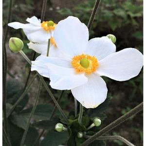 シュウメイギク(花)
