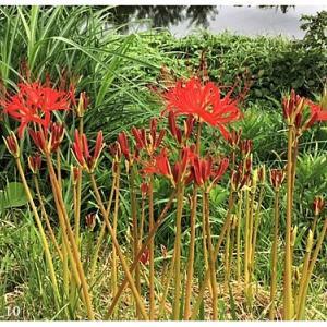 ヒガンバナ(花)