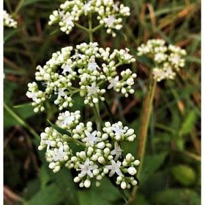 オトコエシ(花)