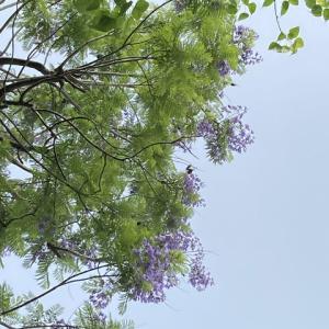 菩提樹とジャカランダ