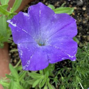 ペチュニア花弁の色に驚く
