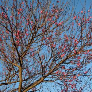 早くもお山で梅が開花!