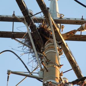 またカラスの巣が電柱に、、