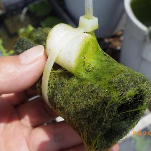 藻やアオミドロが生えてしまった、タマゴトリーナーは…