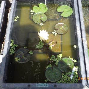 スイレンとガガブタと、ミジンコ養殖水の仕込み