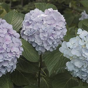 紫陽花とさくらんぼ