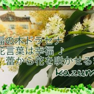幸福の木ドラセナの花言葉は幸福♪蕾から花を咲かせるまで