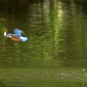 近くの池で鳥を撮りました
