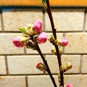 桃の花を見事に間違う素晴らしき仲間