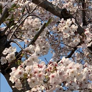 通りがかりの桜が満開でした