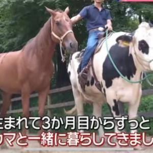 自分を完全に馬だと思い込んでいる牛が見つかるw