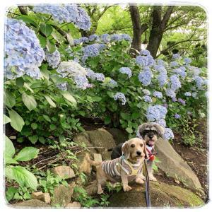 斜面いっぱいの紫陽花!