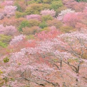 桜絶景!吉野山