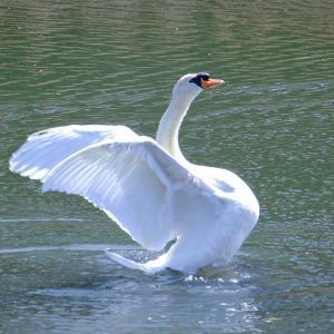 水辺の鳥いろいろ|白鳥はやっぱり美しかった