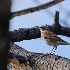 名古屋市内の身近な野鳥たち