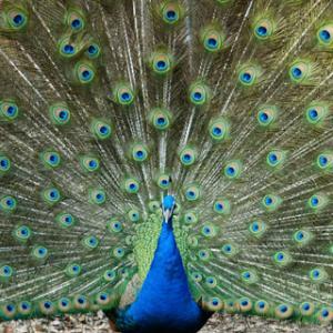 インドクジャクvs.フサホロホロチョウ(東山動植物園)