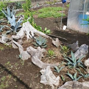 地味に痛い…地植えアガベの周りの草取り