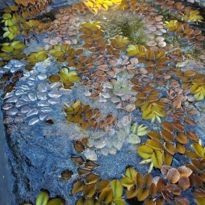 冬の被害!!霜にやられた多肉花壇とハウス内のアエオニウム