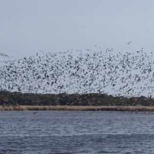 湖面の黒ゴマは全部ワタリドリ。