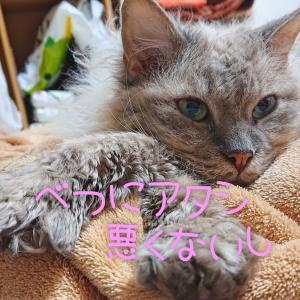 【仲の悪い猫同士】さくらの逆襲失敗談
