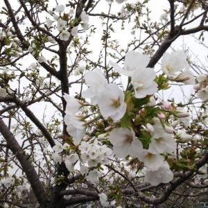 桜&今日のお弁当&手作りマスクキット&小さな感謝