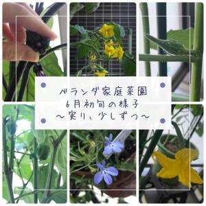 【はぐくむ】スローライフ:ベランダ家庭菜園~実り、少しずつ~