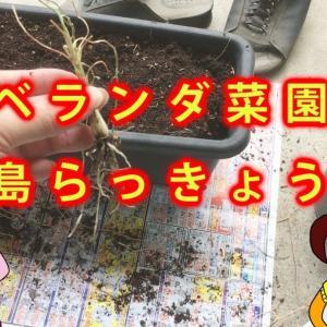 【ベランダ菜園】島らっきょうの収穫 ~ガジェットとかミョウガール 24~