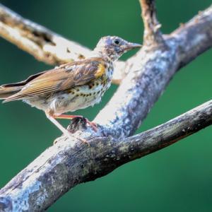 クロツグミ幼鳥とコサメビタキ