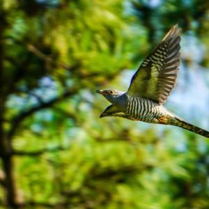 ツツドリ飛翔